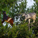 Two Climbing Goats in the Argan tree