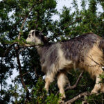 White Goat walking on the limbs