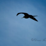 Frigate-bird-split-tail