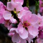 Rain on Blossoms