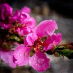 Rain on Nectarine Blossoms