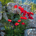Poppies--Spring at Corinth