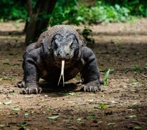 Komodo dragons smell with their tougues