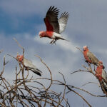 Flying Galah
