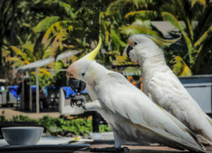 Cockatoos eating off picnic Table