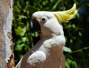 Cockatoo posing