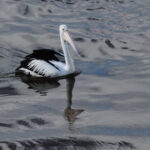 Black & White Pelican