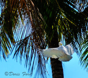 Flying Cockatoo