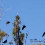 Flying Fruit Bats