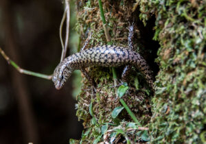 Tree-Lizard