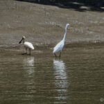 Spoonbill and Egret