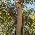 2 Koalas in a tree