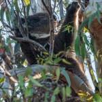 Climping Koala