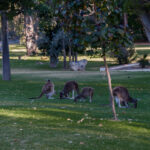 Grey Kangaroos gathering