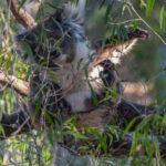Koala waking up