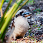 Kookaburra with a nut