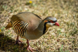 Chukar-walking