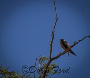 Australian Hawk