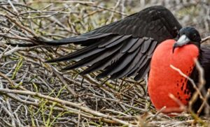 male-Frigate bird