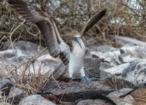 Blue-Footed-Boobie-with-wings outspread