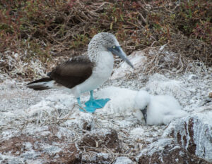 Blue-Footed Boobies on a Galapagos Island