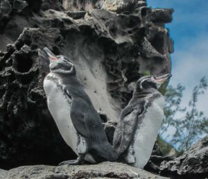 Galapagos Penguins see on Galapagos