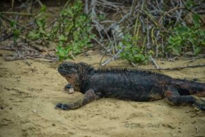 Land Iguana seen on a Galapagos Island