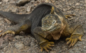 Land Iguana on  a Galapagos Island