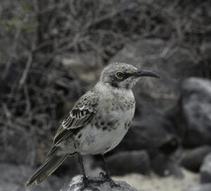 Glalapagos Mocking bird