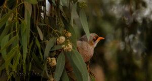 Orange-beak