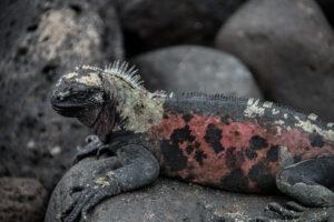 Galapagos Sea Iguana