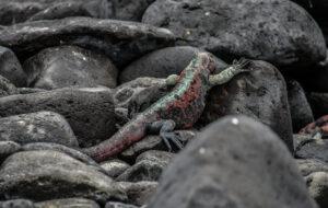 Glalpagos Sea iguana