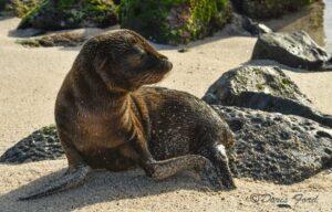 Sea-Lion-baby