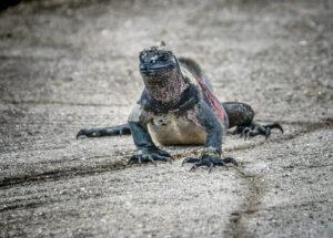 Galapagos Sea iguna