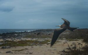 Young-Frigate-bird