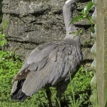 New Zealand Cape Barren Goose