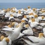 New Zealand Gannet colony