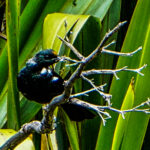 New Zealand Stitchbird