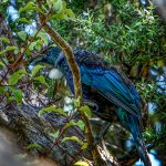 Tui a New Zealand bird