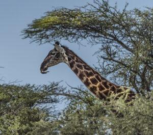 Yellow Beaked Oxpecker cleaning Giraffe teeth.