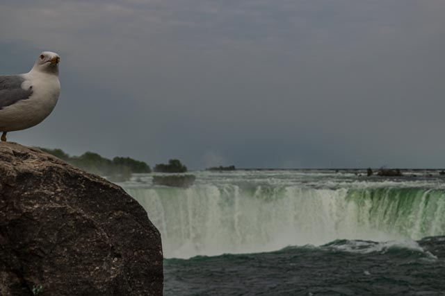 Horseshoe Falls with sea gull